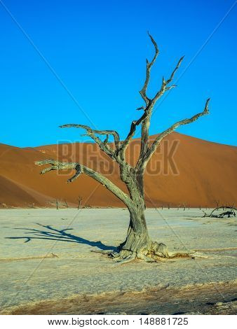 Beautifully curved a dry tree. Orange dune. The bottom of dried lake Deadvlei. Namibia, ecotourism in Namib-Naukluft National Park