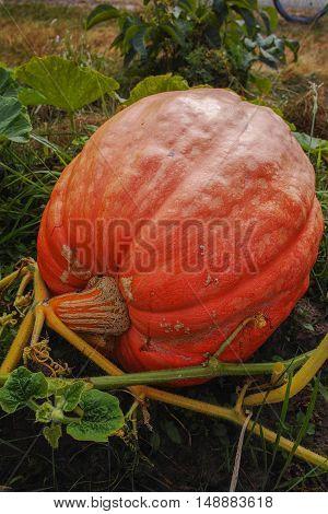 Giant pumpkin in pumpkin patch ready for harvest