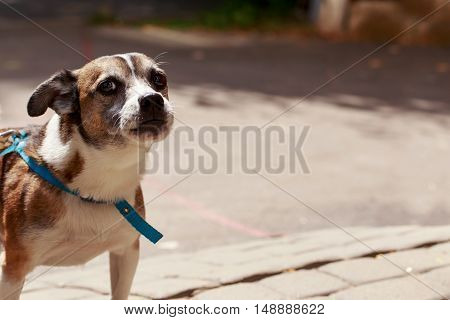 small dog with a blue collar is walking on outdoors