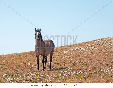Wild Horse Grulla Gray colored Band Stallion sniffing the wind on Sykes Ridge in the Pryor Mountains in Montana - Wyoming USA.
