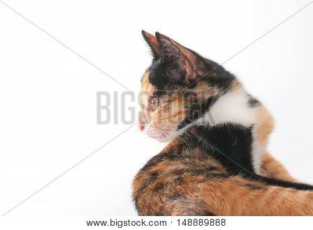 cat isolated on white background . .