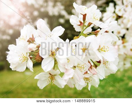Spring white cherry blossom tree selective focus, Beautiful nature scene with blooming tree and light flare, Cherry sakura blooms in soft background of garden