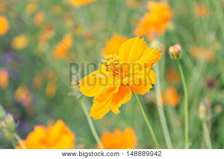 Beautiful yellow flowers in the garden, spring background with beautiful yellow flowers, yellow flowers on green background with green leafs