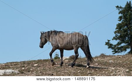 Wild Horse Grulla Gray colored Band Stallion on Sykes Ridge in the Pryor Mountains in Montana - Wyoming United States