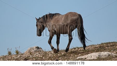Wild Horse Grulla Gray colored Band Stallion on Sykes Ridge in the Pryor Mountains in Montana - Wyoming US of A