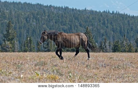 Wild Horse Grulla Gray colored Mare on Sykes Ridge in the Pryor Mountains in Montana - Wyoming USA