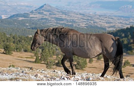 Wild Horse Grulla Gray colored Mare on Sykes Ridge above Teacup Bowl in the Pryor Mountains in Montana  USA.