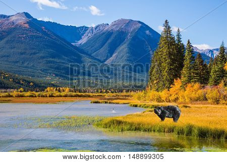 The concept of eco-tourism. A huge black bear standing in the grass by the lake