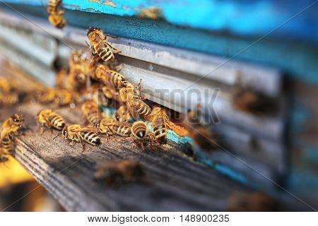 Honeybees entering hive