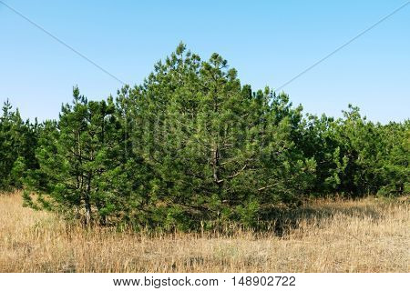 Green pine trees landscape