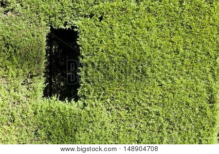 Green wall. Detail of lopped Thuja hedge. Picture taken in Cecilio Rodriguez's Garden Retiro Park Madrid Spain