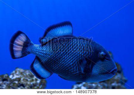 Fish Titan Triggerfish swimming among the reefs in the sea.