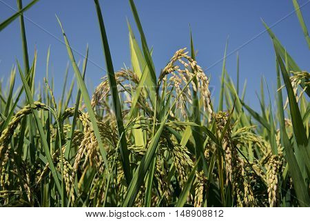 Ears of rice almost ripe in late summer