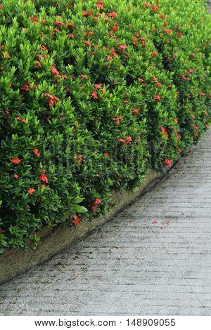 line of red Ixora flowers with planting roadside