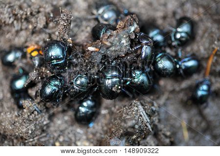 Several earth boring dung beetles Anoplotrupes stercorosus