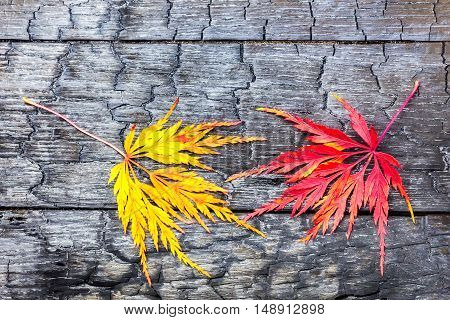 Yellow and red autumn maple leaves together on black burnt wood
