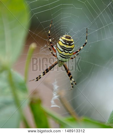 The wasp spider, Argiope bruennichi, is a species of orb-web spider