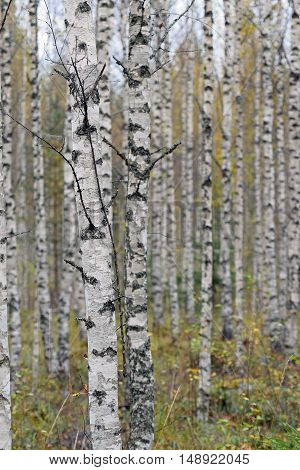 Birch forest on Autumn in Finland. Closeup