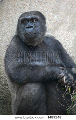 Angry Looking Gorila