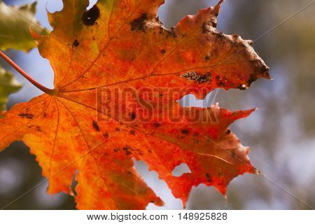 an orange colored maple leaf in fall