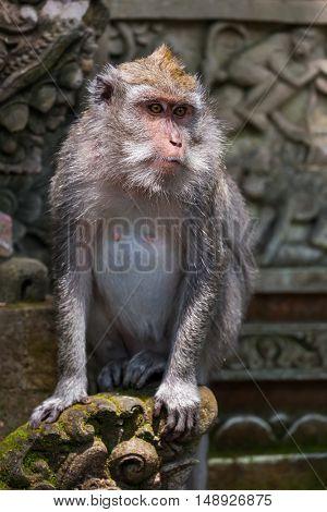 Monkey in forest park in Ubud - Bali Indonesia - animal background
