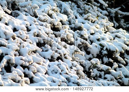 Bush and branches heavily covered with deep snow. German winter.