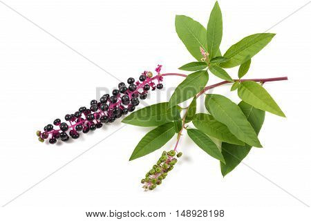 Pokeweed (phytolacca americana) isolted on white background