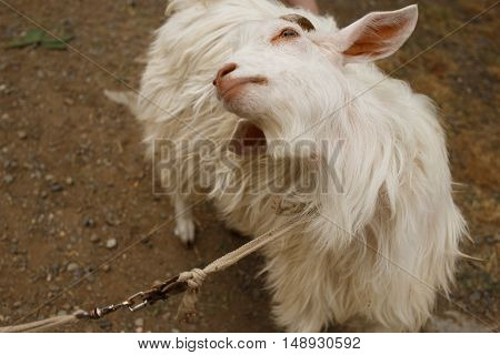 young white goat stand and looking up
