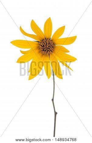 Sunroot Flower. Jerusalem artichoke isolated on white background.