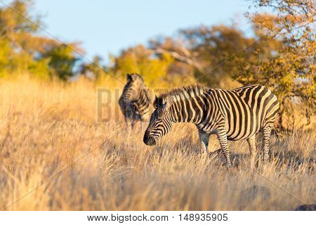Herd of Zebras in the bush. Wildlife Safari in the Kruger National Park major travel destination in South Africa. Sunset light.