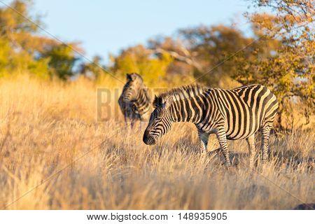 Herd of Zebras in the bush. Wildlife Safari in the Kruger National Park major travel destination in South Africa. Sunset light.