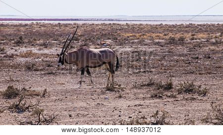 Oryx in the Etosha National Park, Namibia