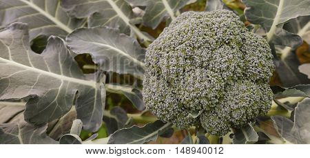 Fresh broccoli growing on the vegetable garden