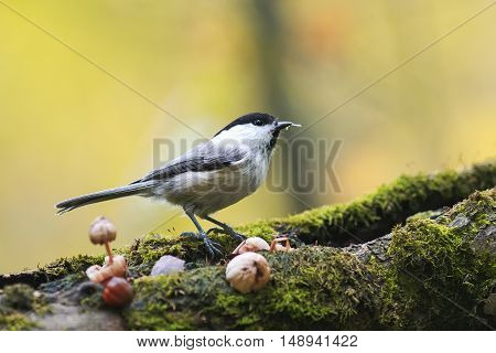 marsh tit bird standing on a tree covered with moss in Park in autumn