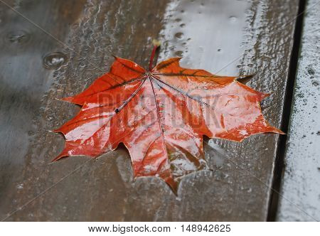 bright red maple leaf lying wet on a wooden table in the rain
