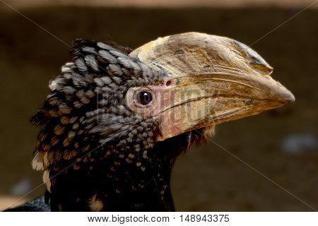 Silvery-cheeked Hornbill -Bycanistes brevis- on the ground among vegetation