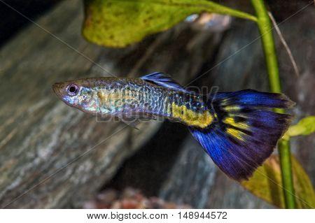 Colored Livebear Fish From Genus Poecilia