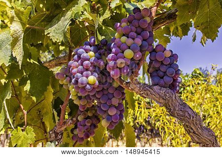 Grapes in a vineyard of Italy. Farm