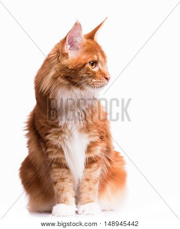Portrait of domestic red Maine Coon kitten - 8 months old. Cute young cat sitting in front and looking away. Curious young orange striped kitty isolated on white background.