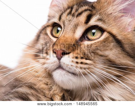 Portrait of domestic black tabby Maine Coon kitten - 5 months old. Cute young cat on white background. Close-up studio photo of striped kitty looking away.