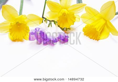 Yellow Daffodils And Lilac Flower On White Background