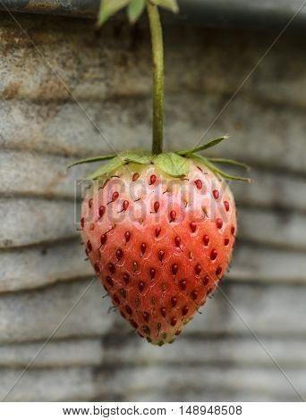 fresh strawberry with green leaves in the garden