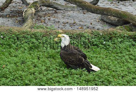 Beautiful American bald eagle sitting in the grass.