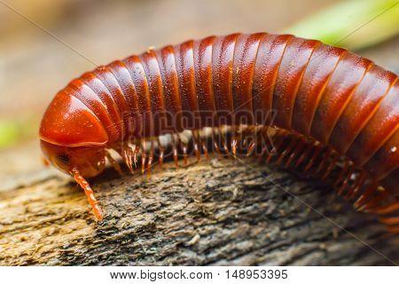 the millipede walking on the wood floor. closeup