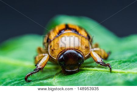 The Beetle on a green leaf. closeup