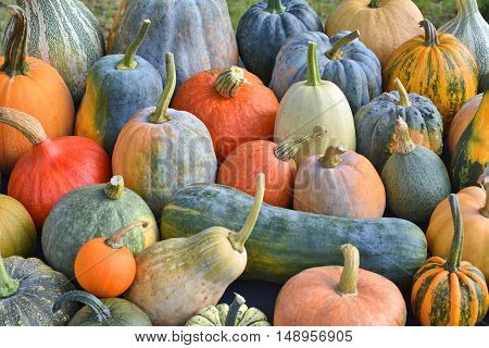Pumpkins and squashes in the garden. Autumn harvest