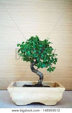 Bonsai tree on floor in clay pot.