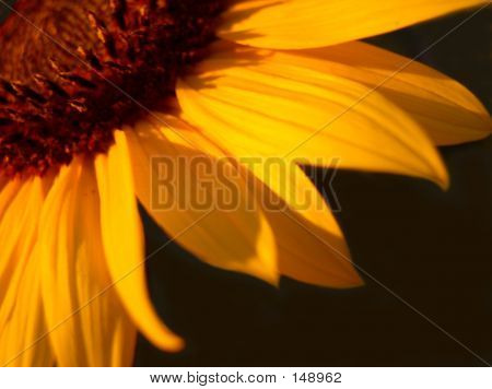 Orange Sunflower Petals On Black