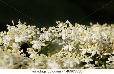 Elder Flowers Bunch