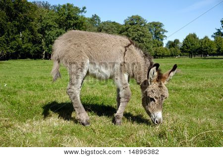 Donkey Eating Grass